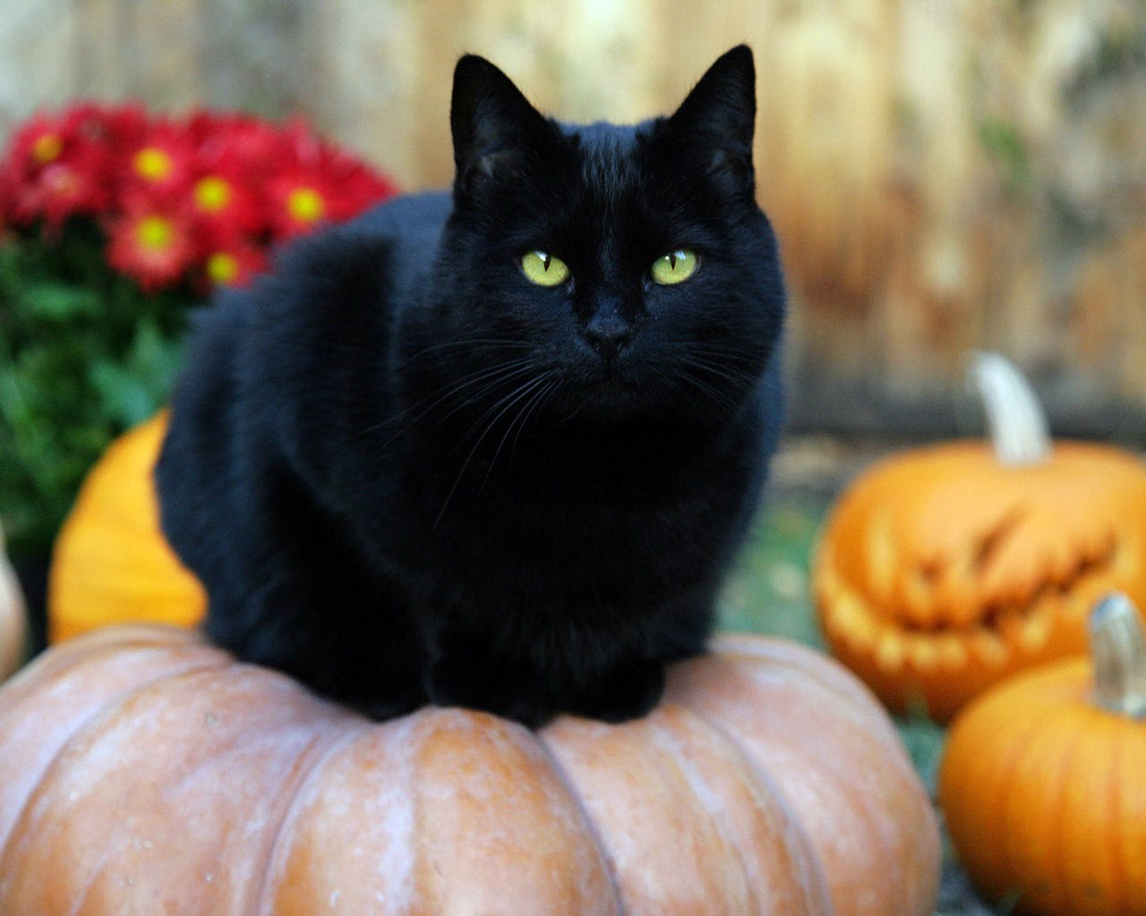 THE PAWSOMENESS OF BLACK CATS