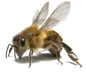 Build a Better World: Protecting Honeybees