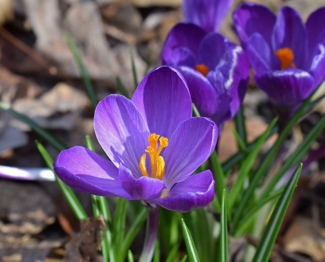 Gardening Class with Crow Wing County Master Gardeners: Spring Blooming Bulbs for Northern Gardens