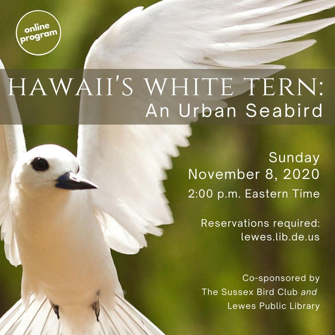 Sussex Bird Club | Hawaii's White Tern: An Urban Seabird