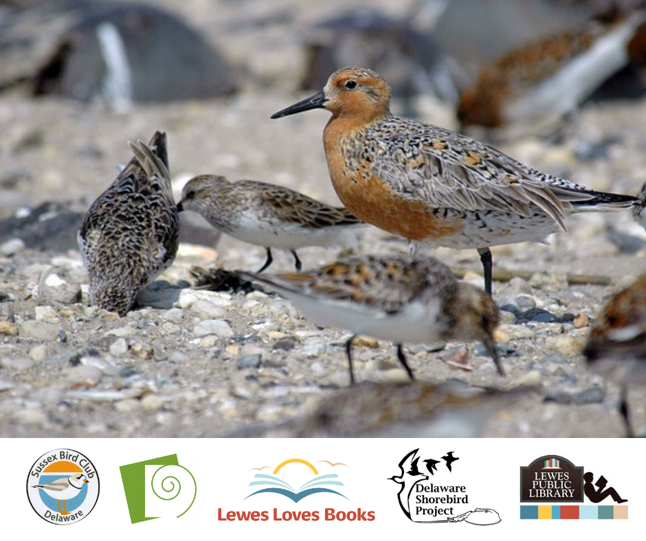 The Sussex Bird Club | Birds of May – the Science of Shorebird Migration in Delaware Bay with Lewes Public Library