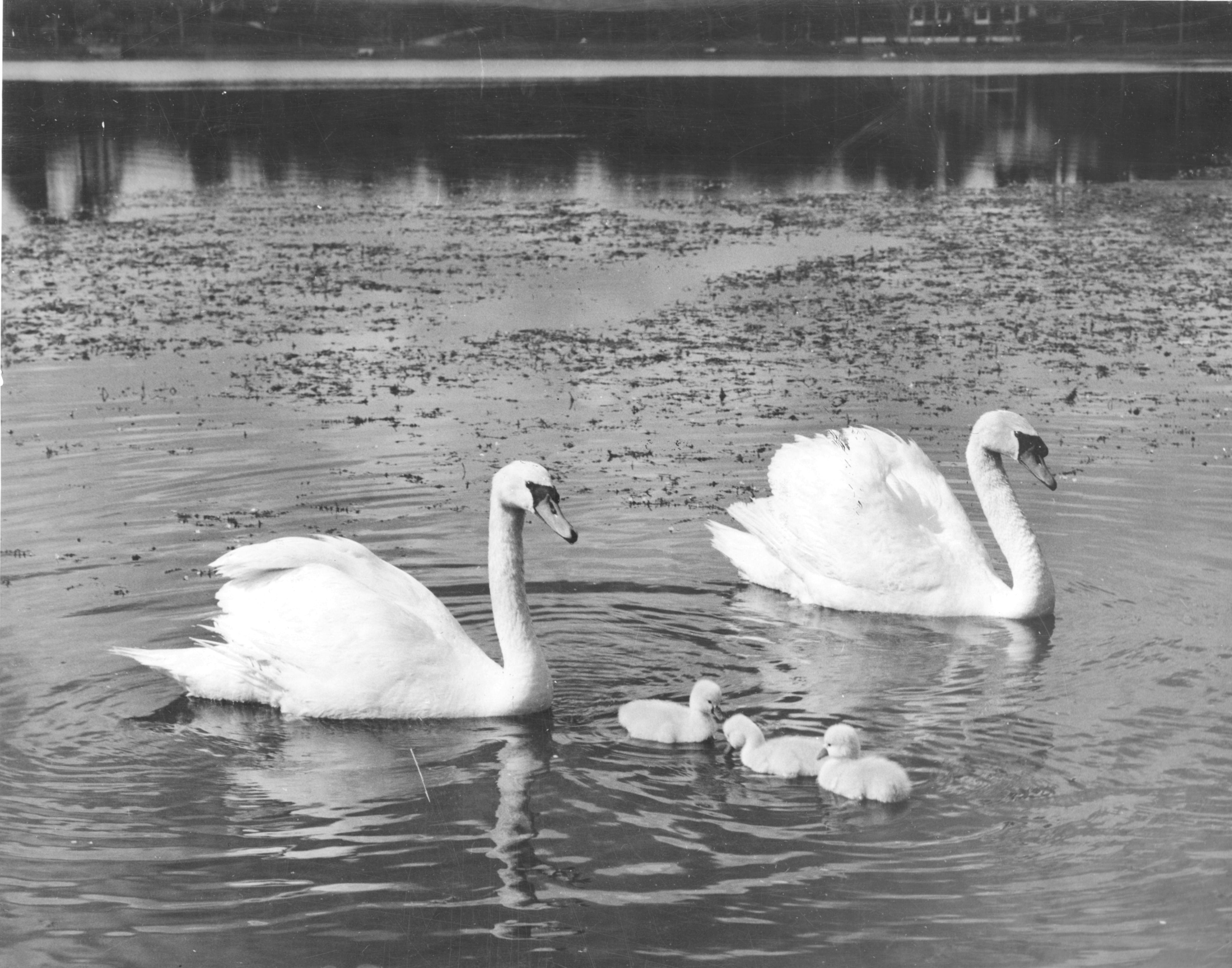 CANCELLED: Swan History Presentation