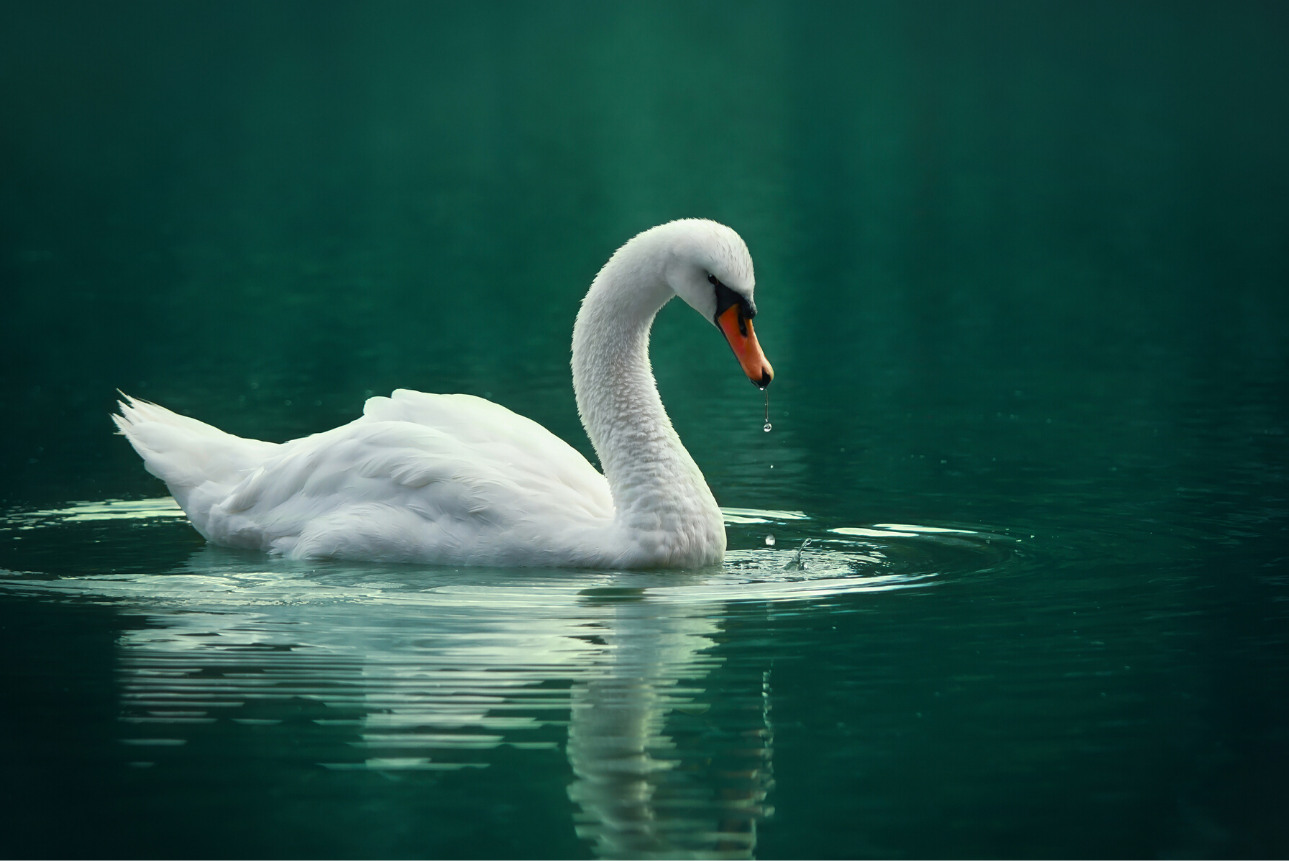 CANCELLED: From Cygnet to Swan: Caring for Lakeland's Waterfowl