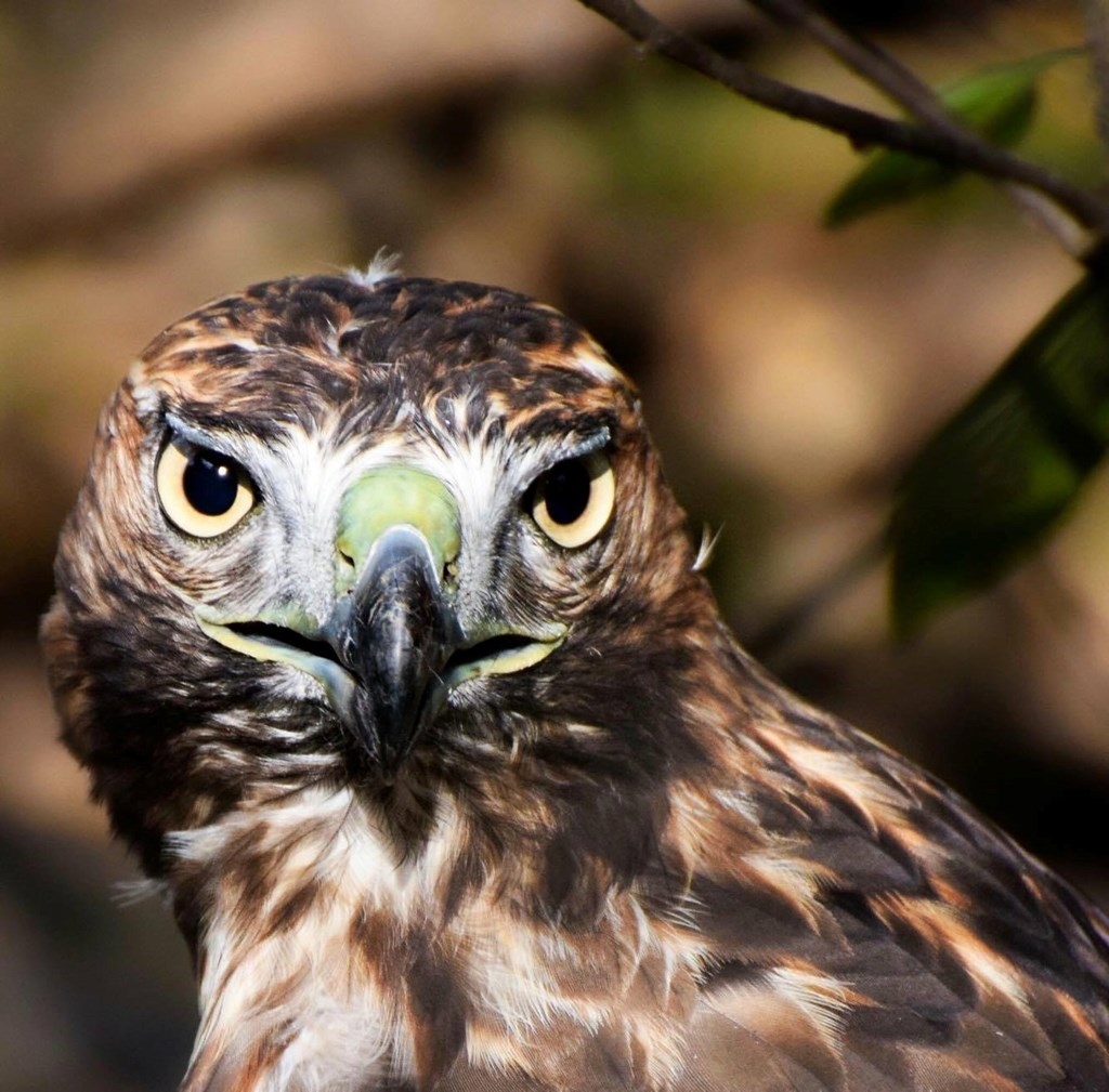 Live Birds from Hawk Mountain - Summer Quest Closing Program
