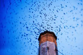 Amazing Chimney Swifts