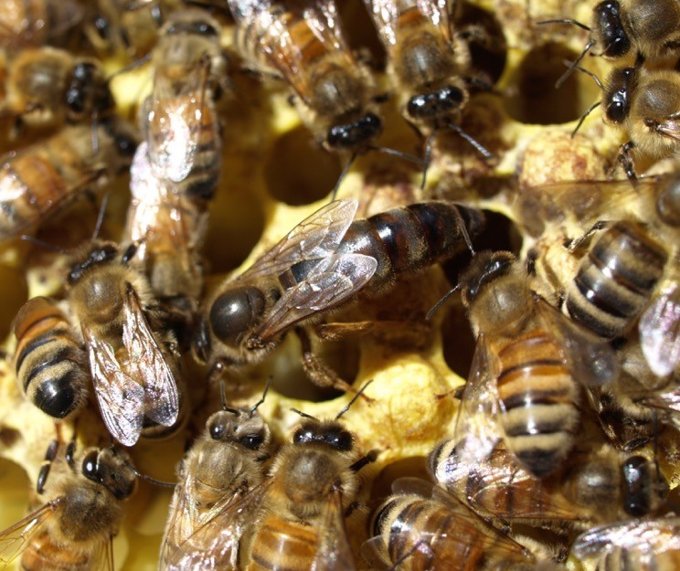 BeeChicas: Native Pollinators!