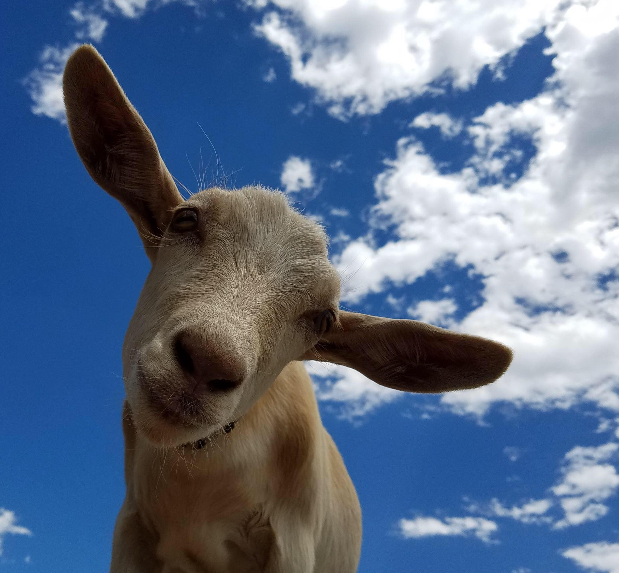 Summer of Discovery: Meet & Bleat: Baby Goats at the Library
