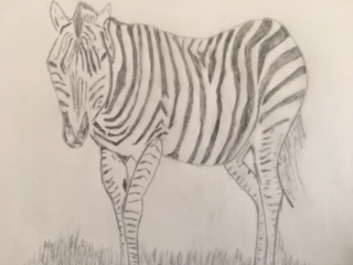 Pencil Drawing: Learn to Draw a Zebra