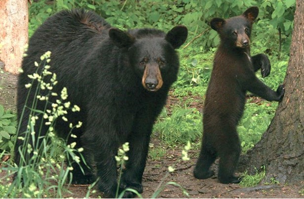 Living with Black Bears in New York State