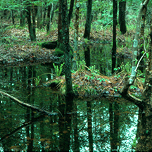 Birds and Bobcats and Beetles, Oh My! A Day in the Life of a Forested Wetland                                                           S