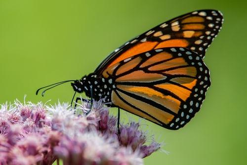 Monarch Butterflies Zoom Lecture