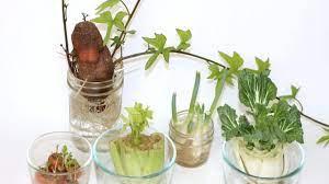 Kitchen Scrap Gardening: Virtual Program geared for kids in grades 4-7 with Jessica Reid