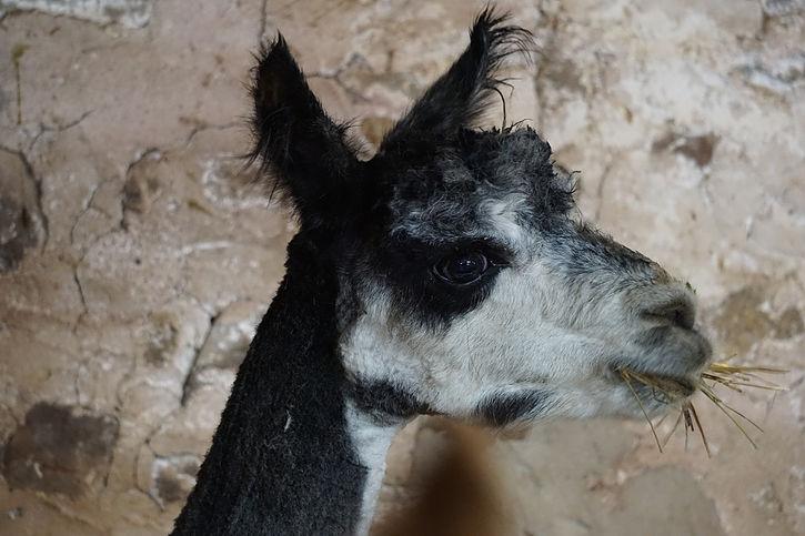 Lazy Acres Alpaca Farm Tour for folks of all ages