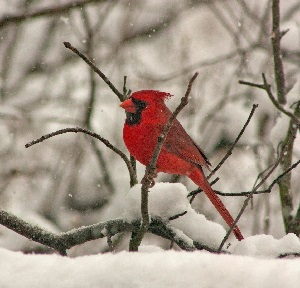 VIRTUAL PROGRAM: Draw a Cardinal