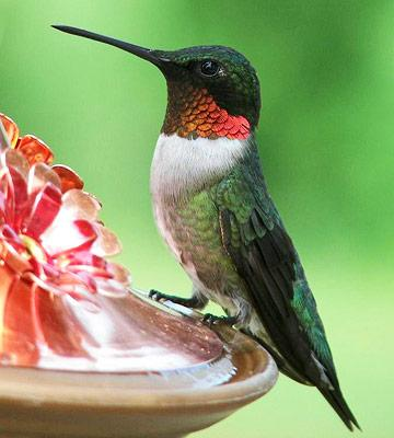 Hummingbirds and How to Attract Them