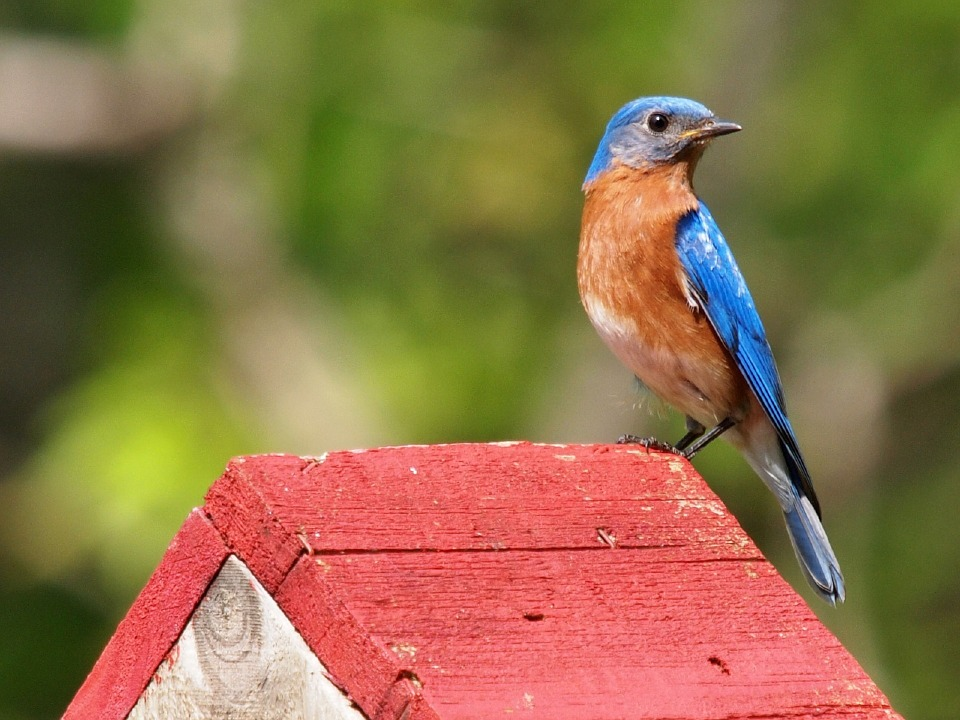 Bluebirds in Your Backyard