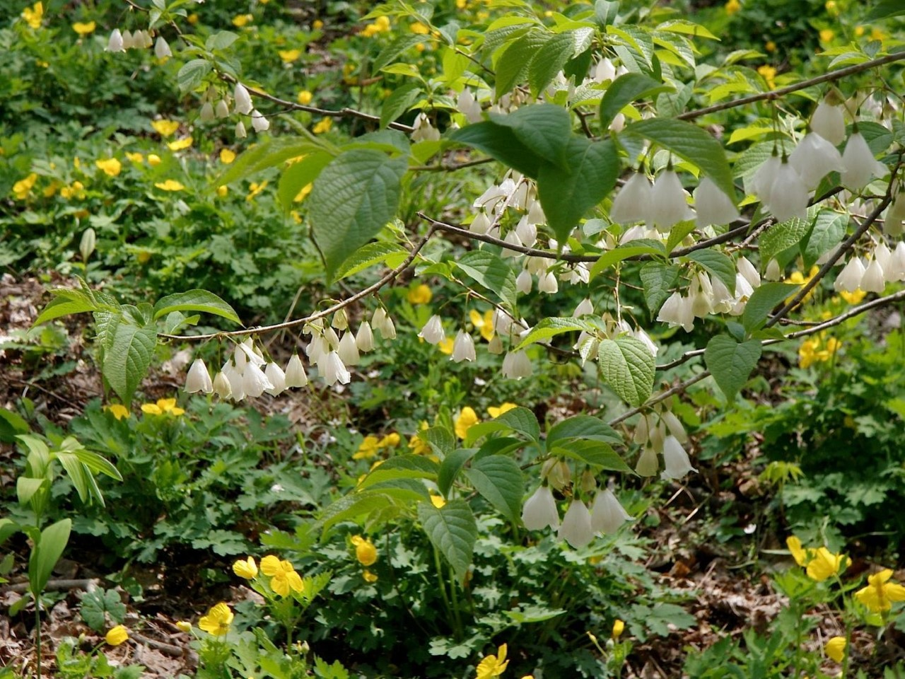 Online Event: Native Trees of Green Spring Gardens