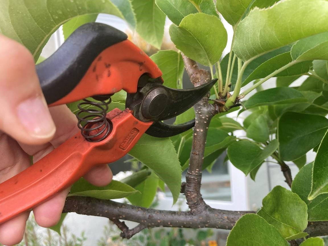 Summer Fruit Tree Pruning with the Master Gardeners of Santa Clara County