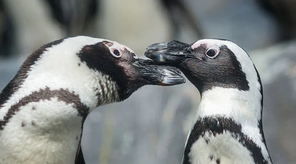 Dinner is Served! Eat with Penguins, Live at the Monterey Bay Aquarium at 6 pm EDT
