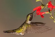Get to know the hummingbirds of Louisiana, by the Baton Rouge Audubon Society