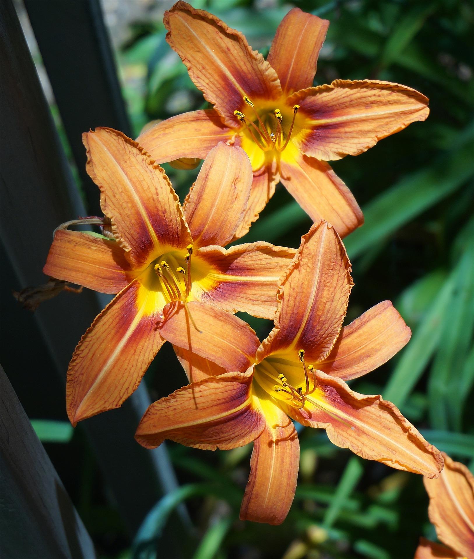 Master Gardener: Daylily Care