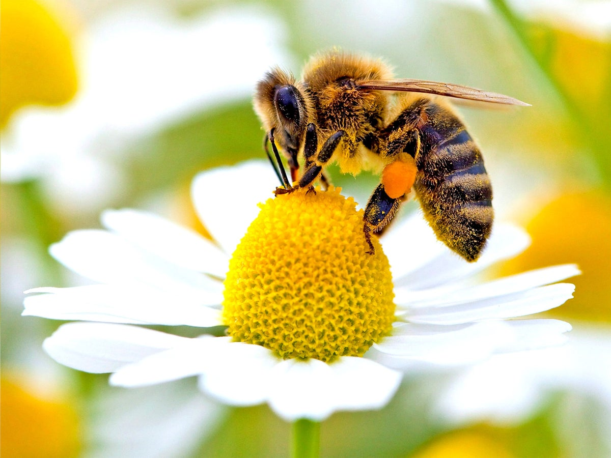 Accidental Pollination: Honey Bees, Beekeeping and the Tricks Plants Use to Control Bee Behavior