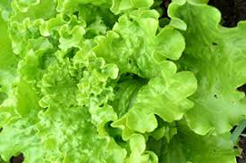 Salad Gardening for Beginners with LEAF