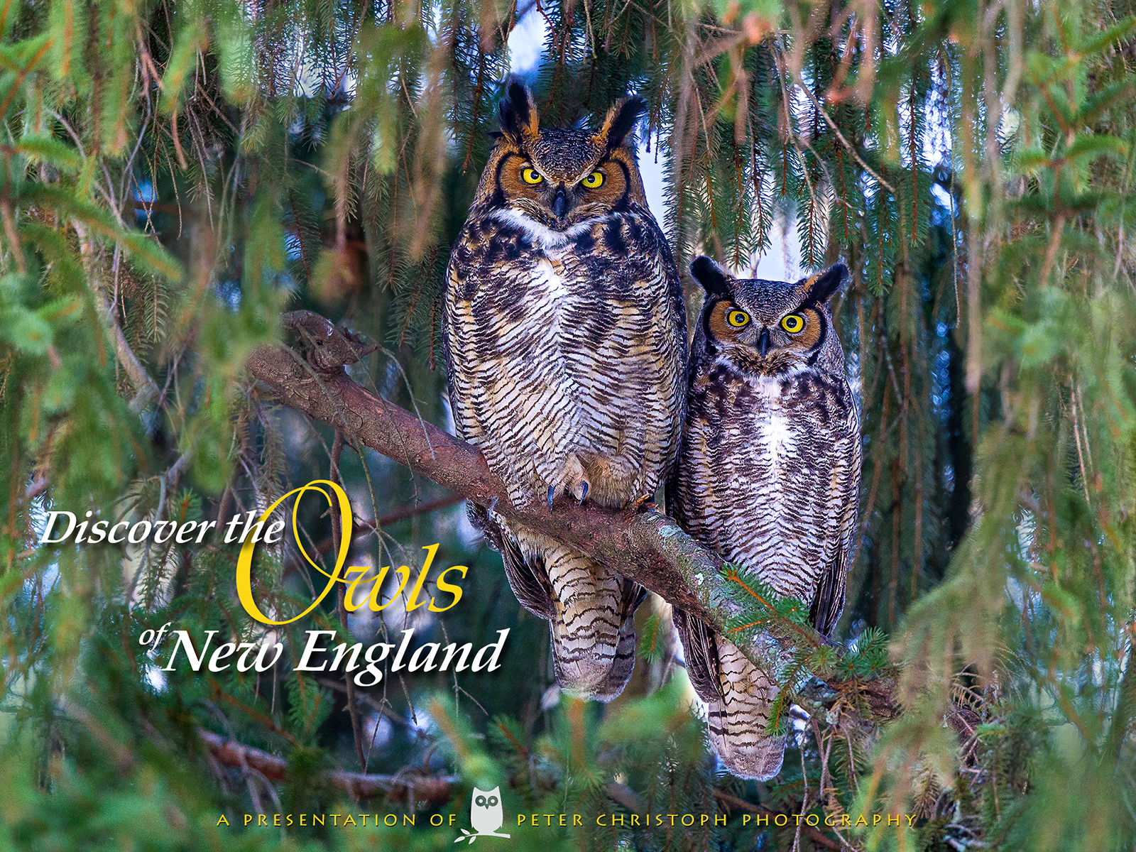 Discover the Owls of New England