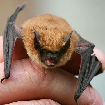 NorCal Bats @ Boulder Creek
