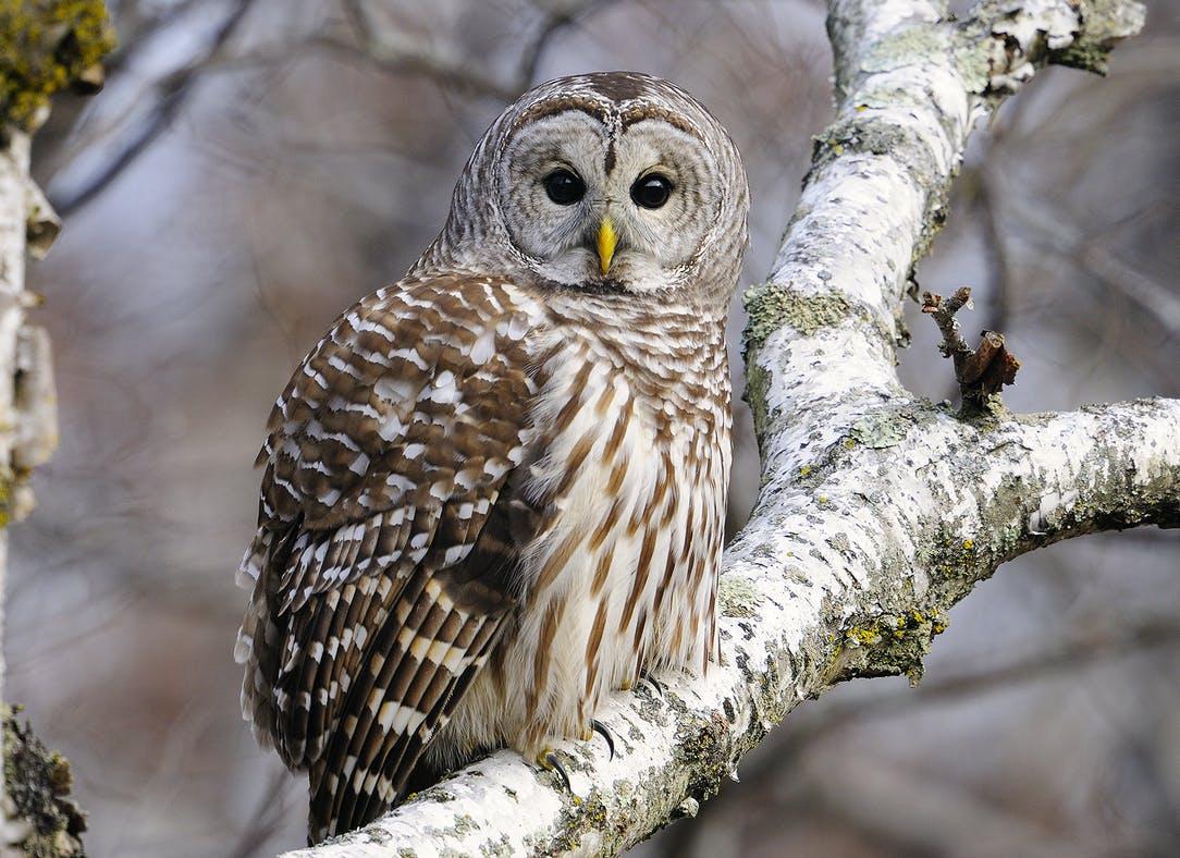 Animal Superheroes: Owls are Amazing (Tamarack Nature Center)