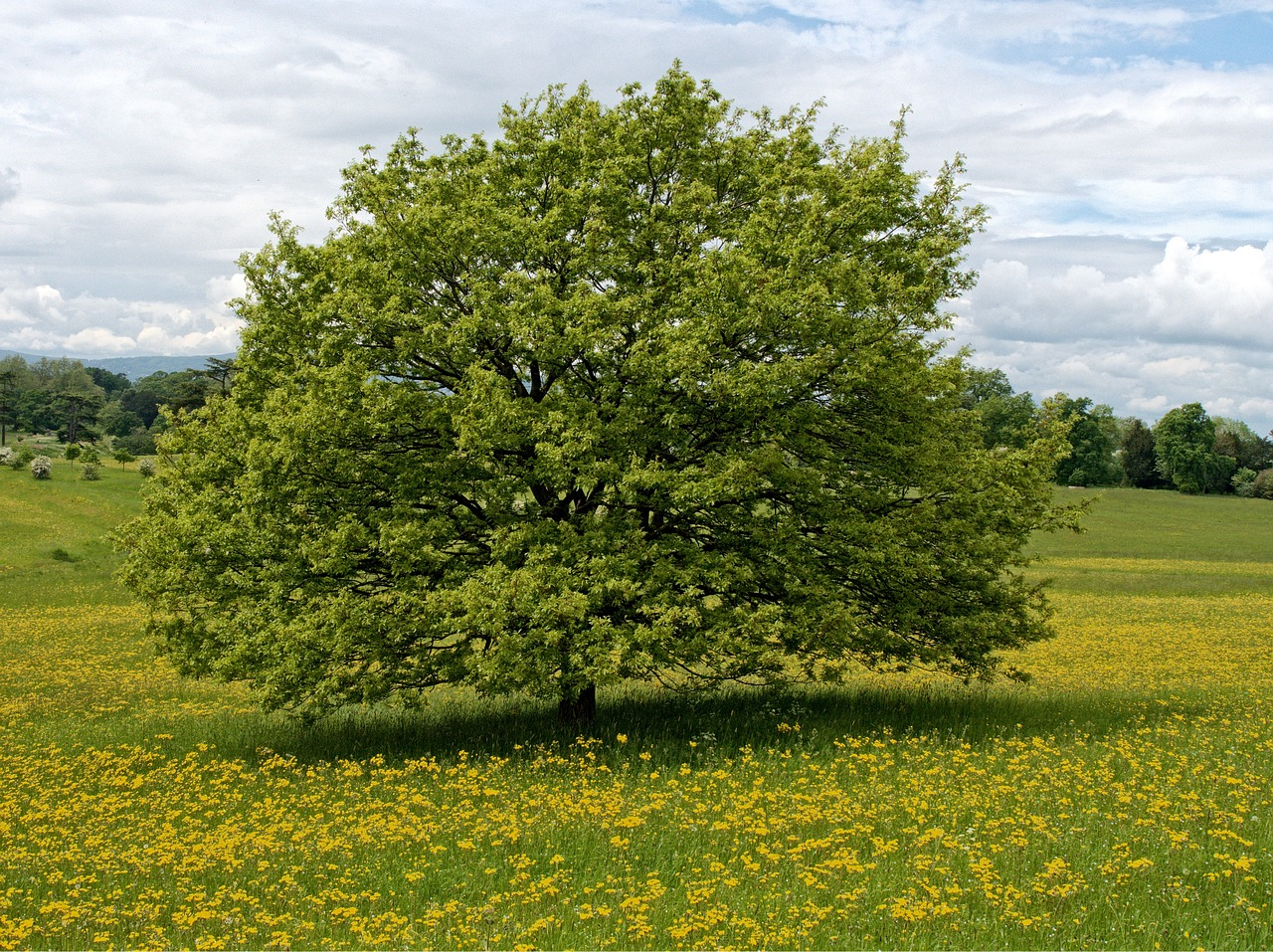 How to Raise a Shade Tree: From Nursery to Maturity