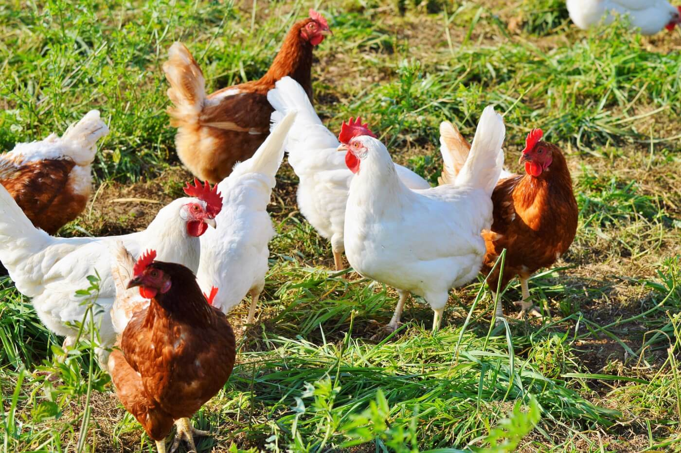 Backyard Chickens 101 – part 1(of2 partseries)