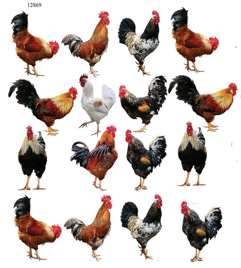 Virtual Backyard Chickens 101 –part 2