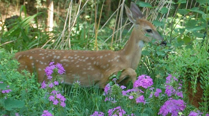VIRTUAL Feeding Butterflies, Not Bambi: Deer Resistant Native Plants
