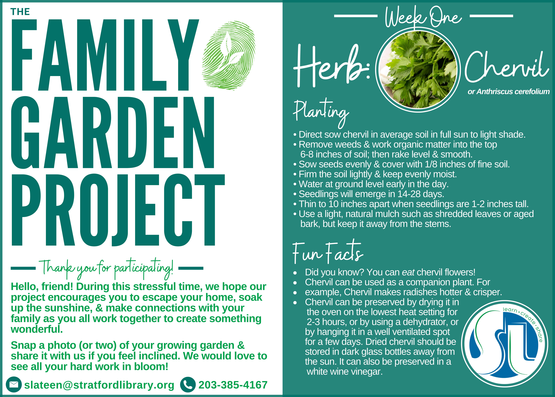 Family Garden Project-Chervil (herb)