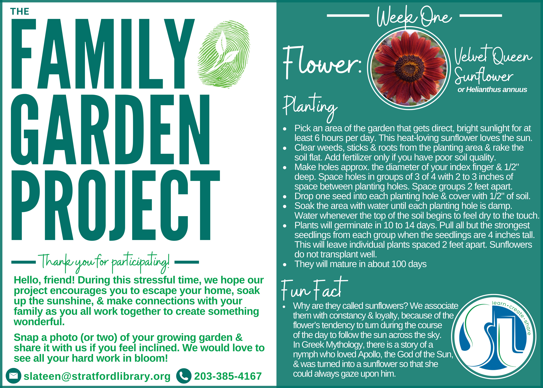 Family Garden Project-Velvet Queen Sunflowers (flower)